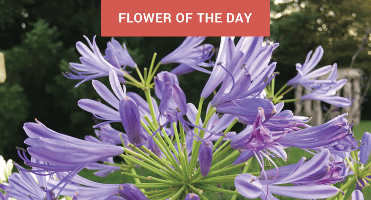 Flower of the Day: Agapanthus