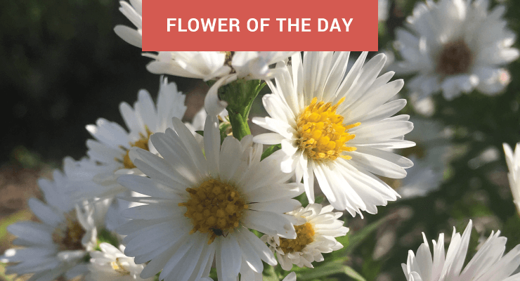 Flower Of The Day Perennial White Asters Julia Dimakos