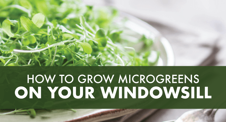 How To Grow Microgreens on Your Windowsill