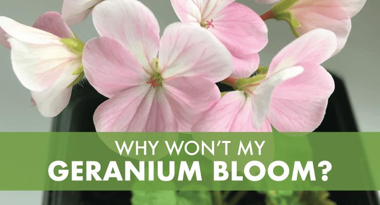 Why Won't My Geranium Bloom?