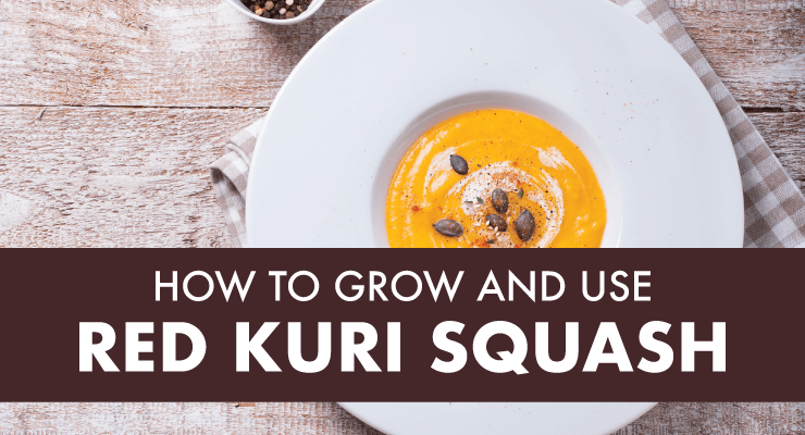 How to Grow and Use Red Kuri Squash