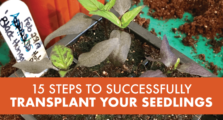 15 Steps to Successfully Transplant Your Seedlings