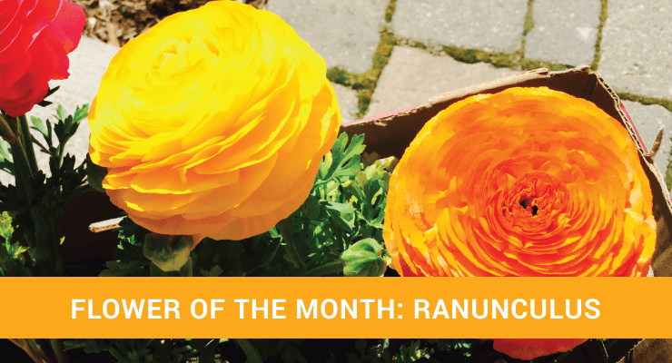 Flower of the Month Ranunculus