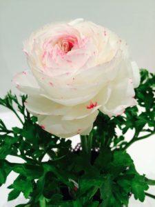 Ranunculus Picotee