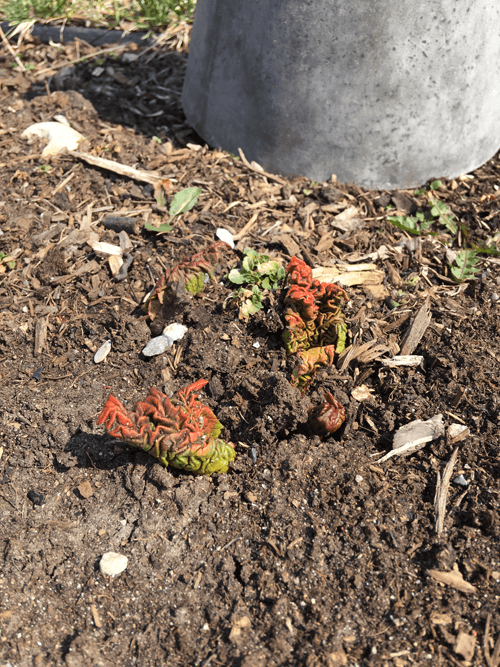 How to Force Rhubarb - Before Covering