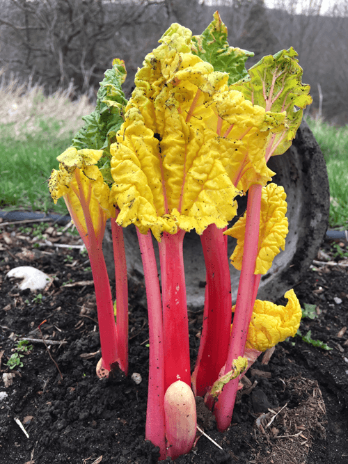 How to Force Rhubarb - 4 Days Later