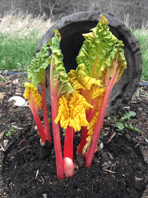 Rhubarb Forcing After 5 Days