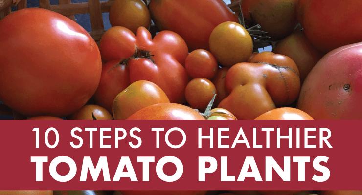 10 Steps to Healthier Tomato Plants