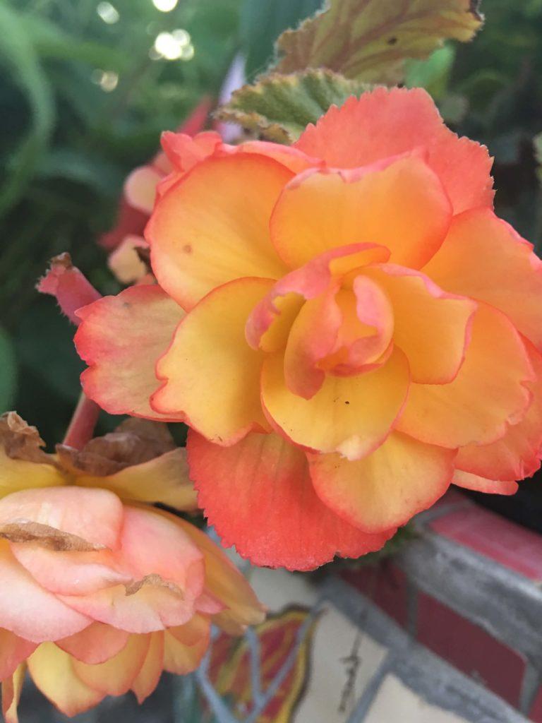 Tuberous Begonia Trick
