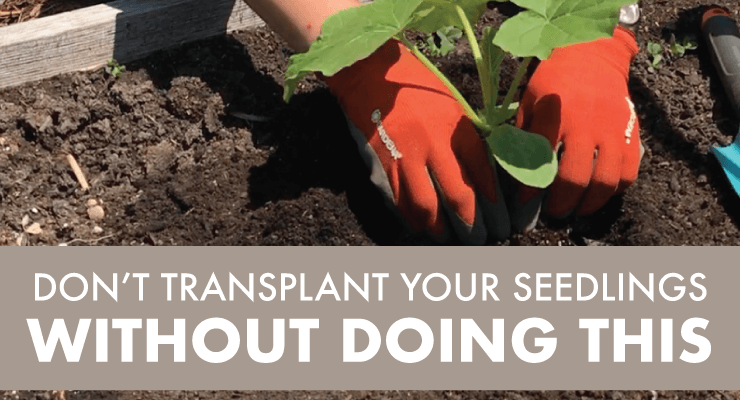 Dont Transplant Your Seedlings