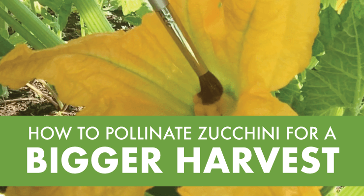 How to Pollinate Zucchini for a Bigger Harvest