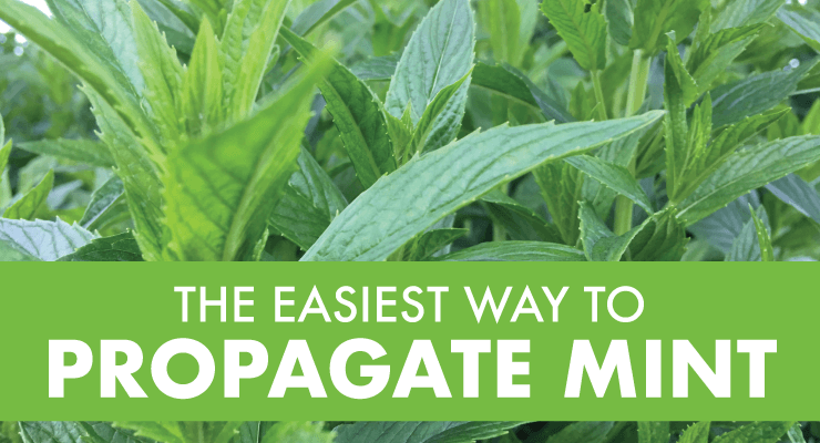 The Easiest Way to Propagate Mint