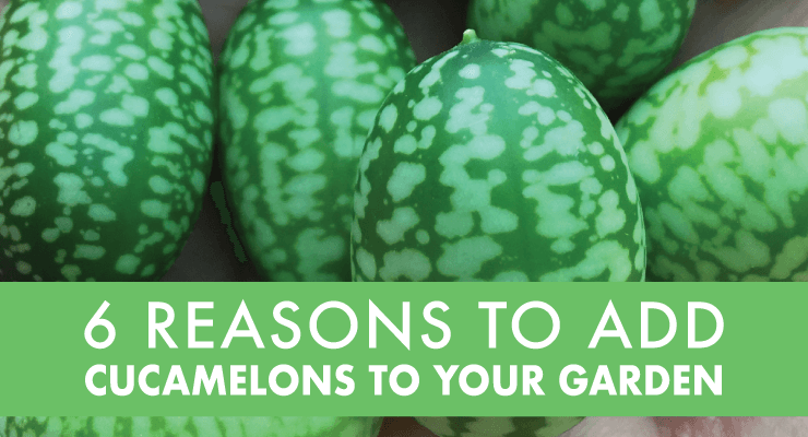 6 Reasons to add Cucamelons to your Garden