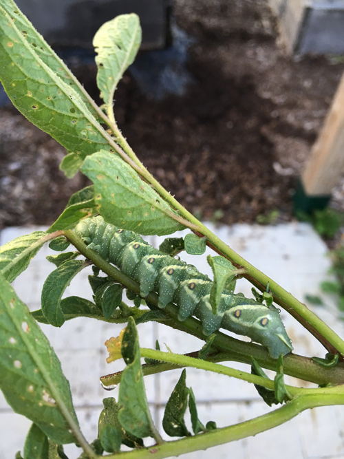 A Complete Guide to Tomato Hornworm Caterpillars