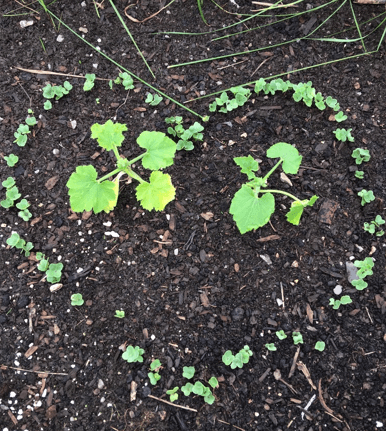 Zucchini Co-Planted Radishes