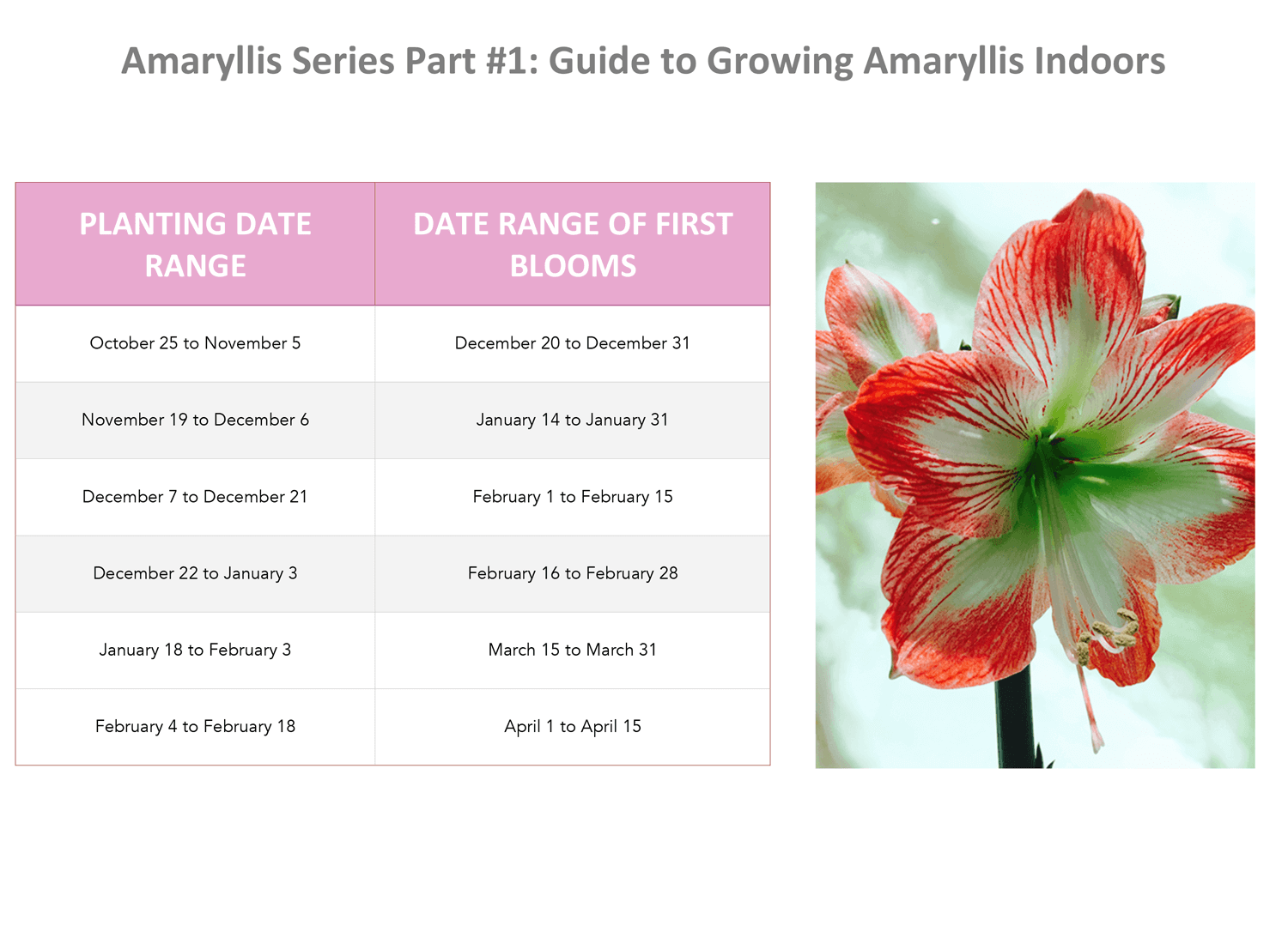 A Guide to Growing Amaryllis Indoors