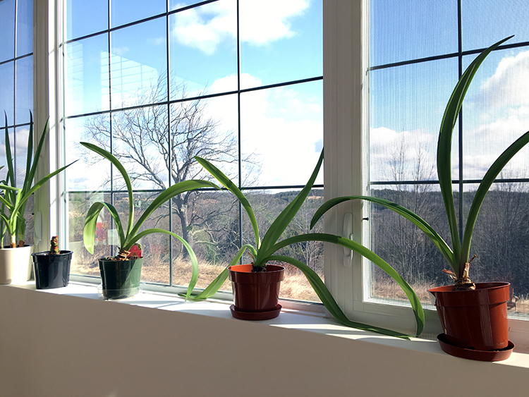 How to Get Your Amaryllis to Rebloom