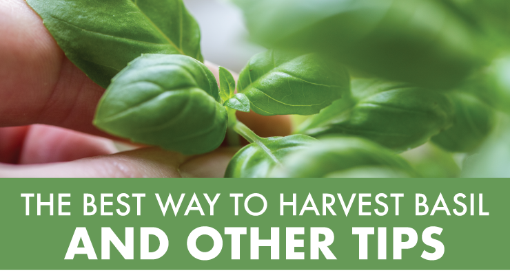 The Best Way to Harvest Basil & Other Tips
