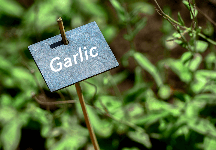 How to Increase Your Garlic Supply by Planting Bulbils