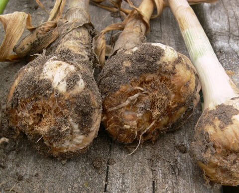 Why it's best to plant Seed Garlic in your Vegetable Garden
