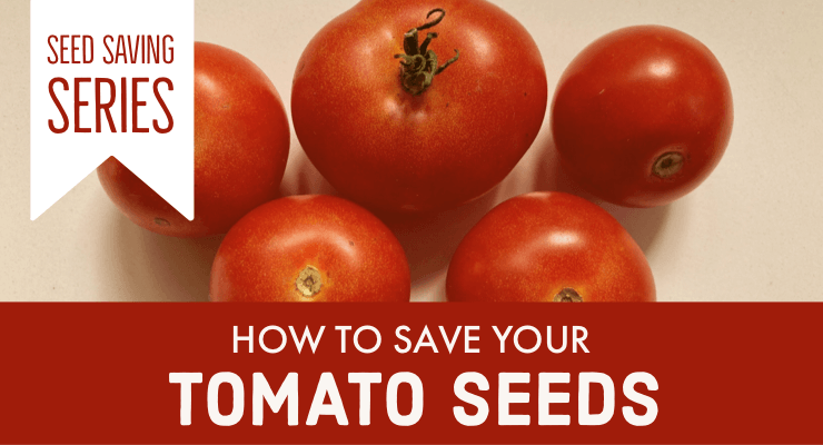 How to Save Your Tomato Seeds