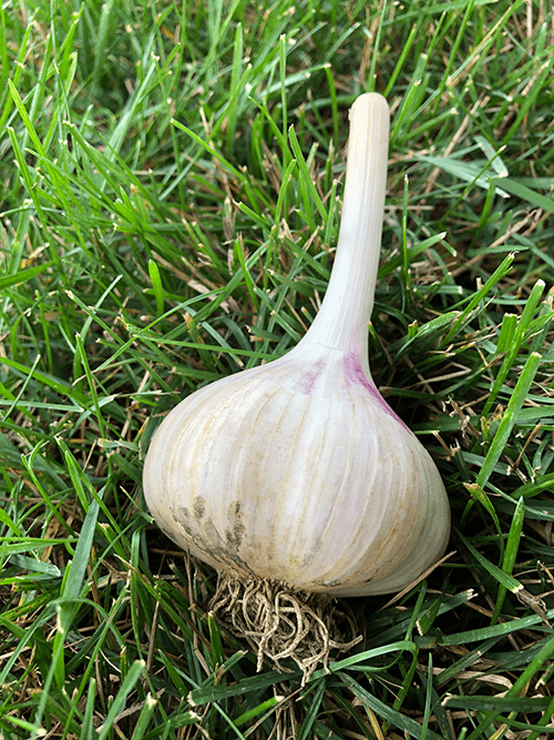 A Complete Guide to Planting Garlic