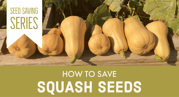 How to Save Squash Seeds