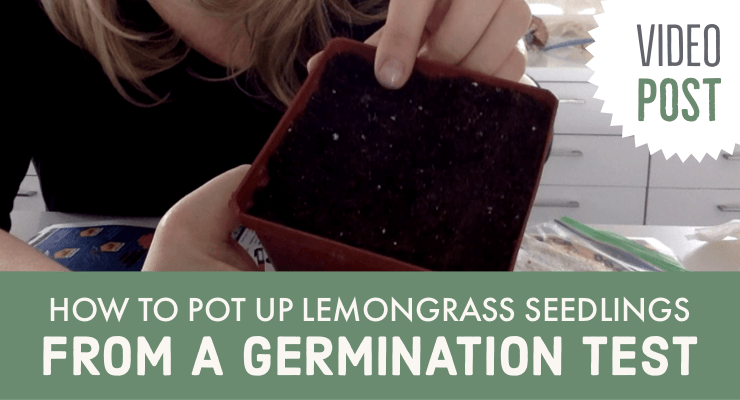 How to Pot Up Lemongrass Seedlings from a Germination Test