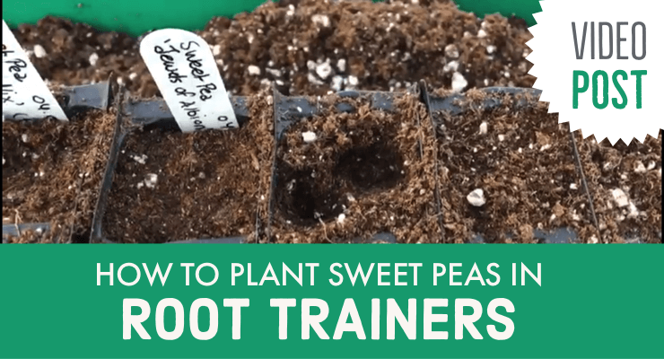 How to Plant Sweet Peas in Root Trainers