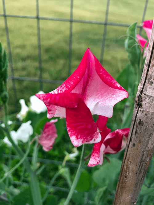 Why You Should Grow Sweet Peas