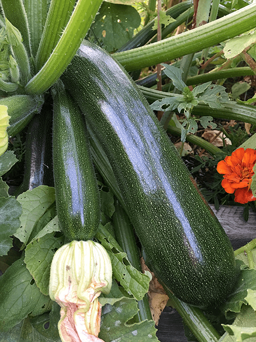 Consider Vegetable Families When Planting Your Garden