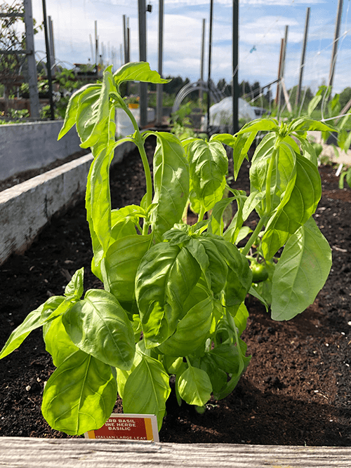 Complete Guide to Growing Basil