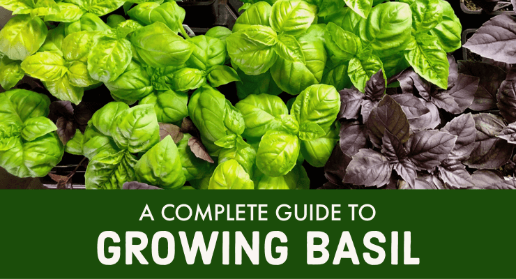 A Complete Guide to Growing Basil