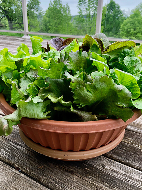 Salad Bowl container-grown lettuce