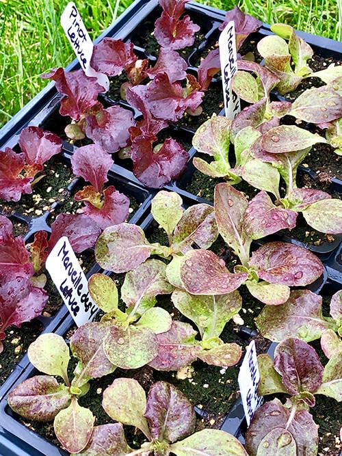 Succession-planted lettuce seedlings