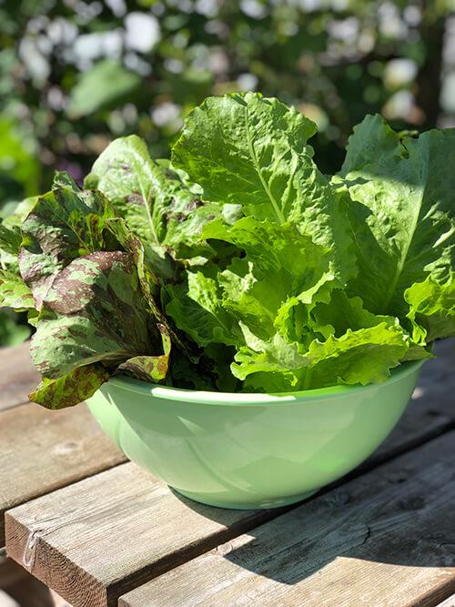 Harvest of fresh lettuce leaves