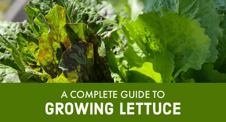 A Complete Guide to Growing Lettuce