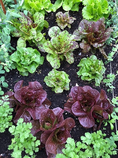 Lettuce growing in the veggie garden