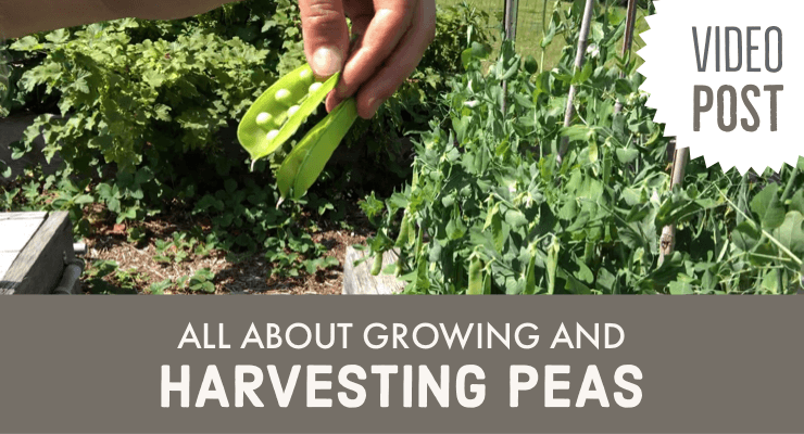 Video: All About Growing and Harvesting Peas