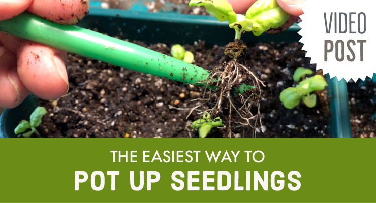 Video: The Easiest Way to Pot Up Seedlings