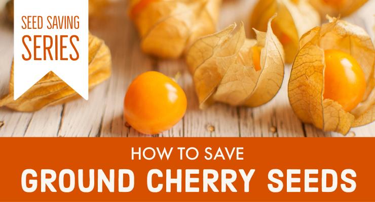 Seed Saving Series: How to Save Ground Cherry Seeds