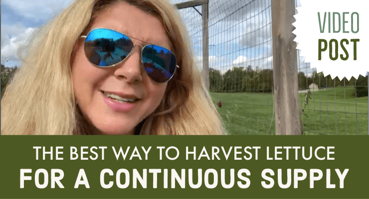 Video Post: The Best Way to Harvest Lettuce for a Continuous Supply