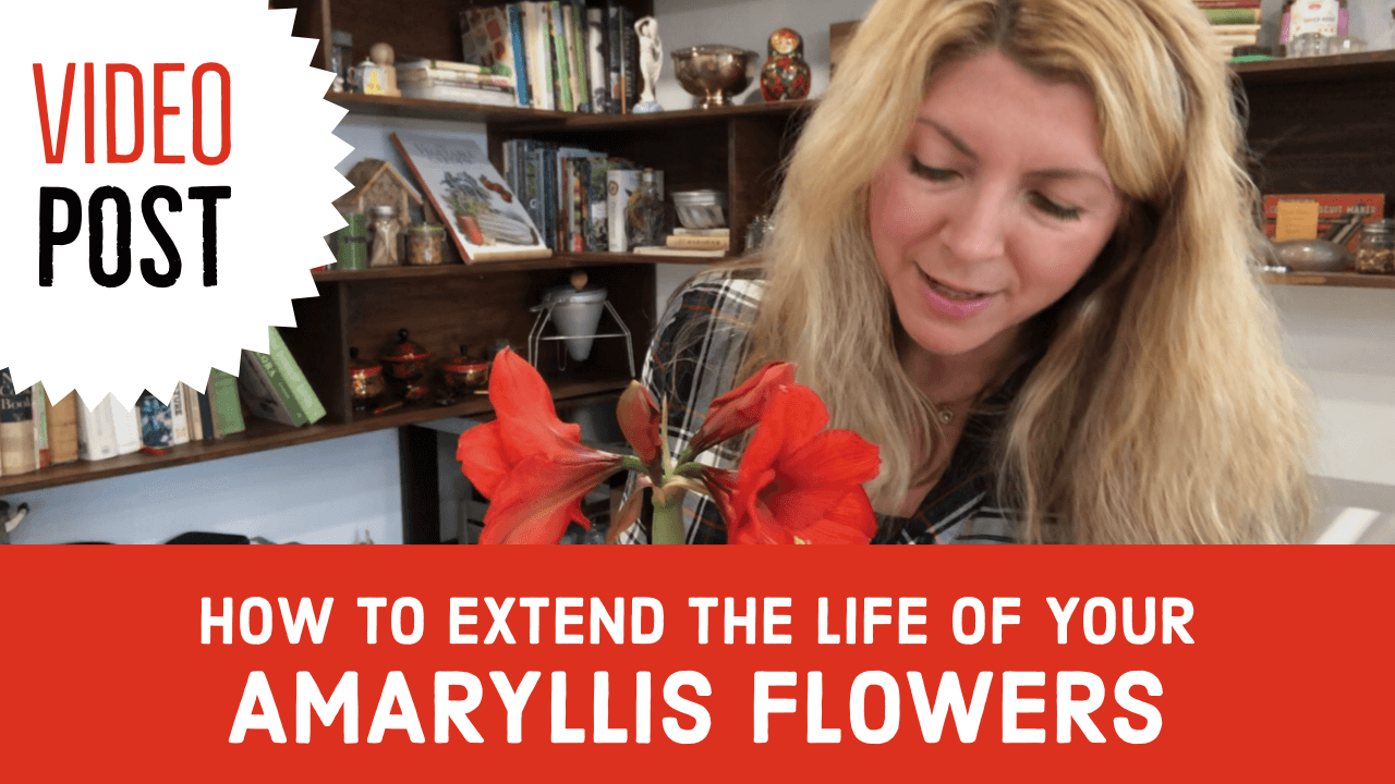 [Video]: How to Extend the Life of your Amaryllis Flowers