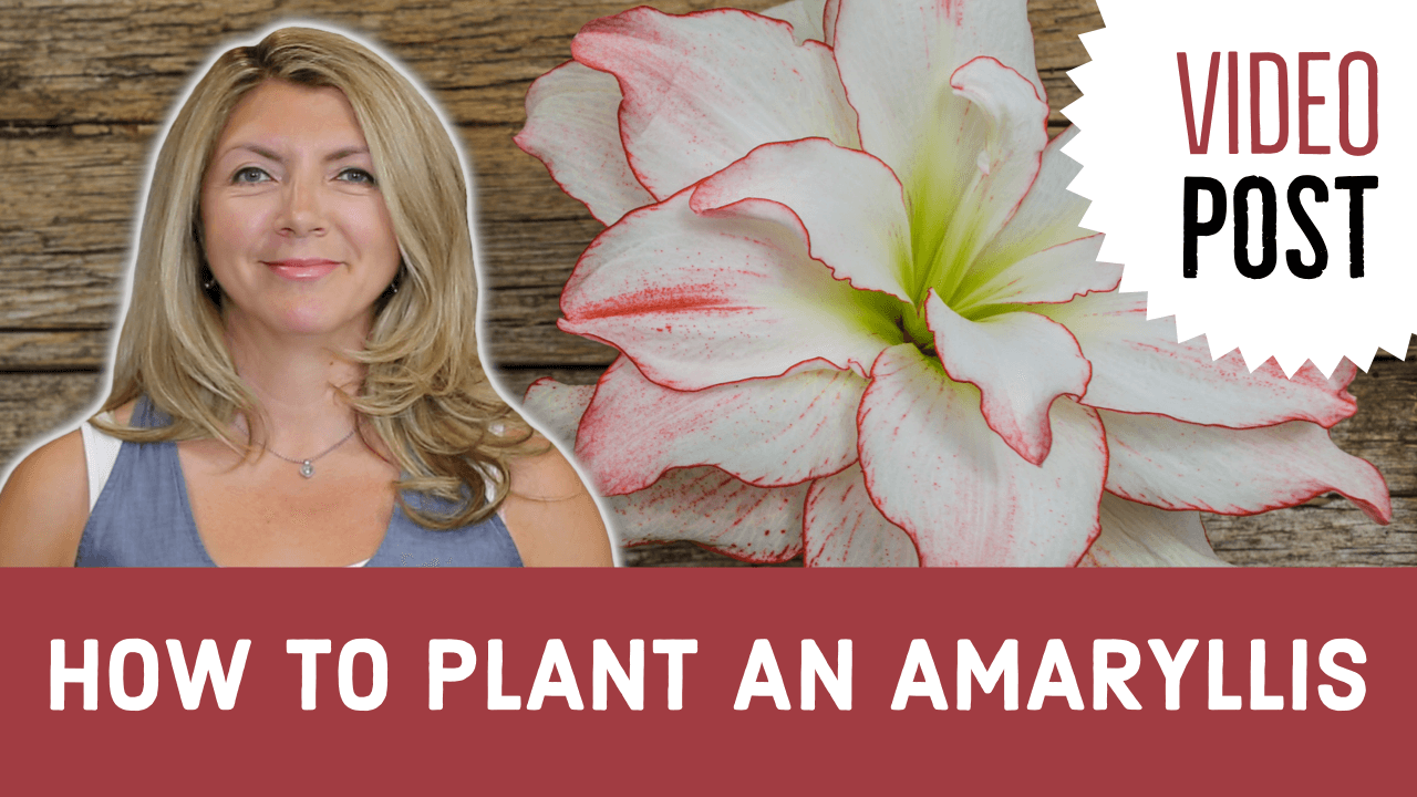 [Video]: How to Plant an Amaryllis