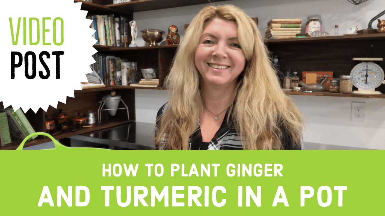 How to Plant Ginger and Turmeric in a Pot