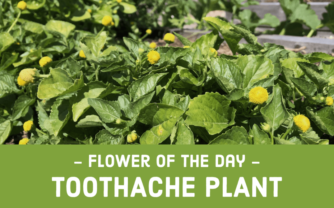 Flower of the Day – Toothache Plant