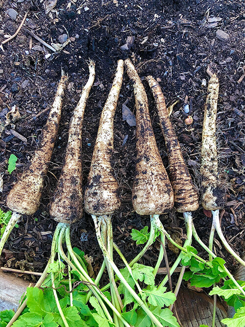 10 Tips for Successfully Growing Parsnips