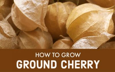 How to Grow Ground Cherry