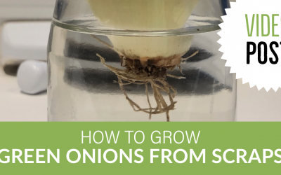 [Video] How to Grow Green Onions from Scraps